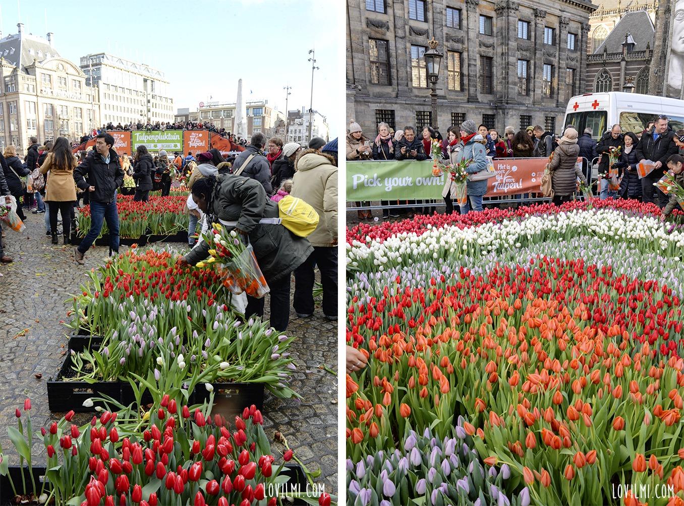 tulipan121