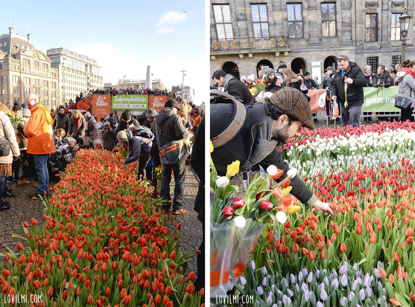 tulipan122
