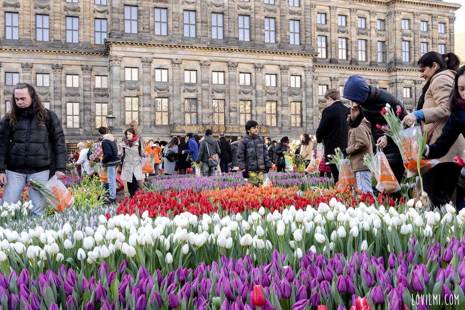 tulipan52