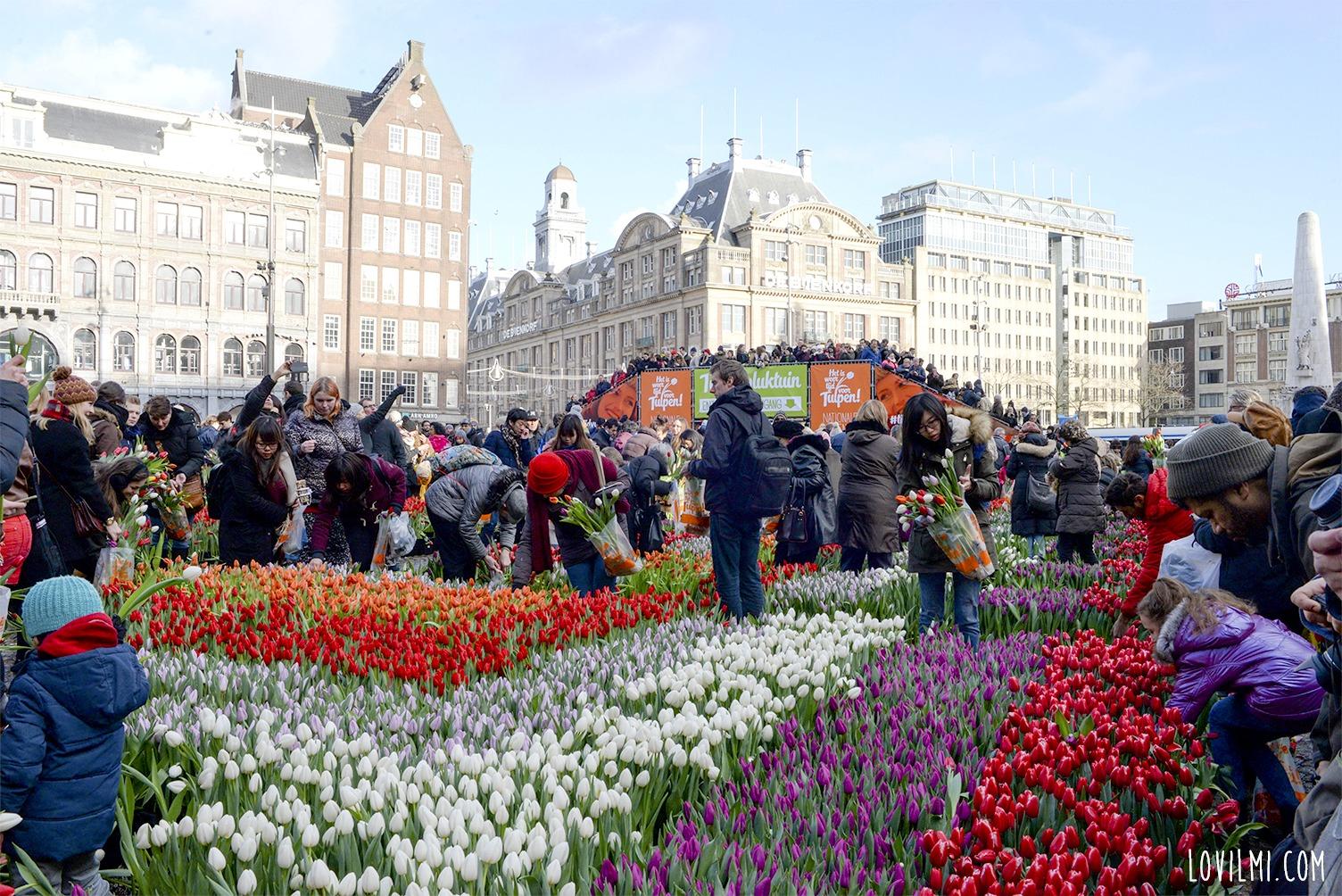 tulipan63