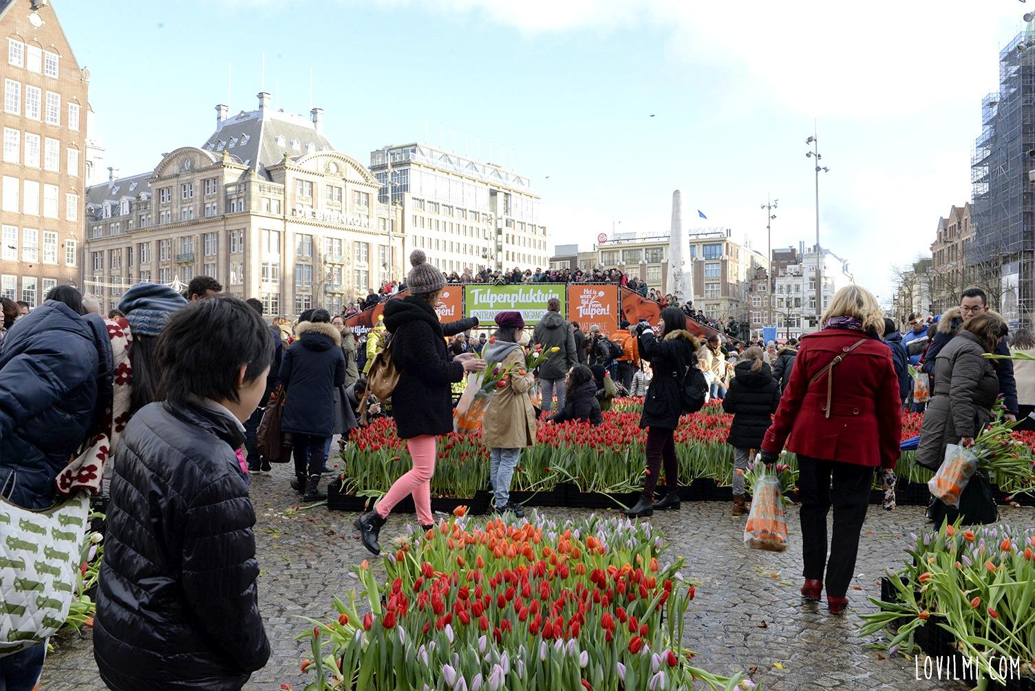 tulipan72